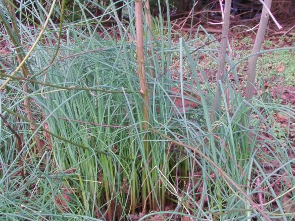 Allium-vineale is one of the winter foraging staples