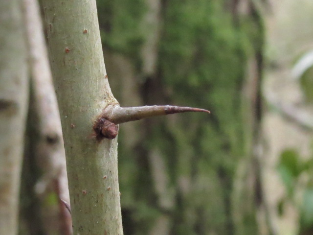 hawthorn spine and bud