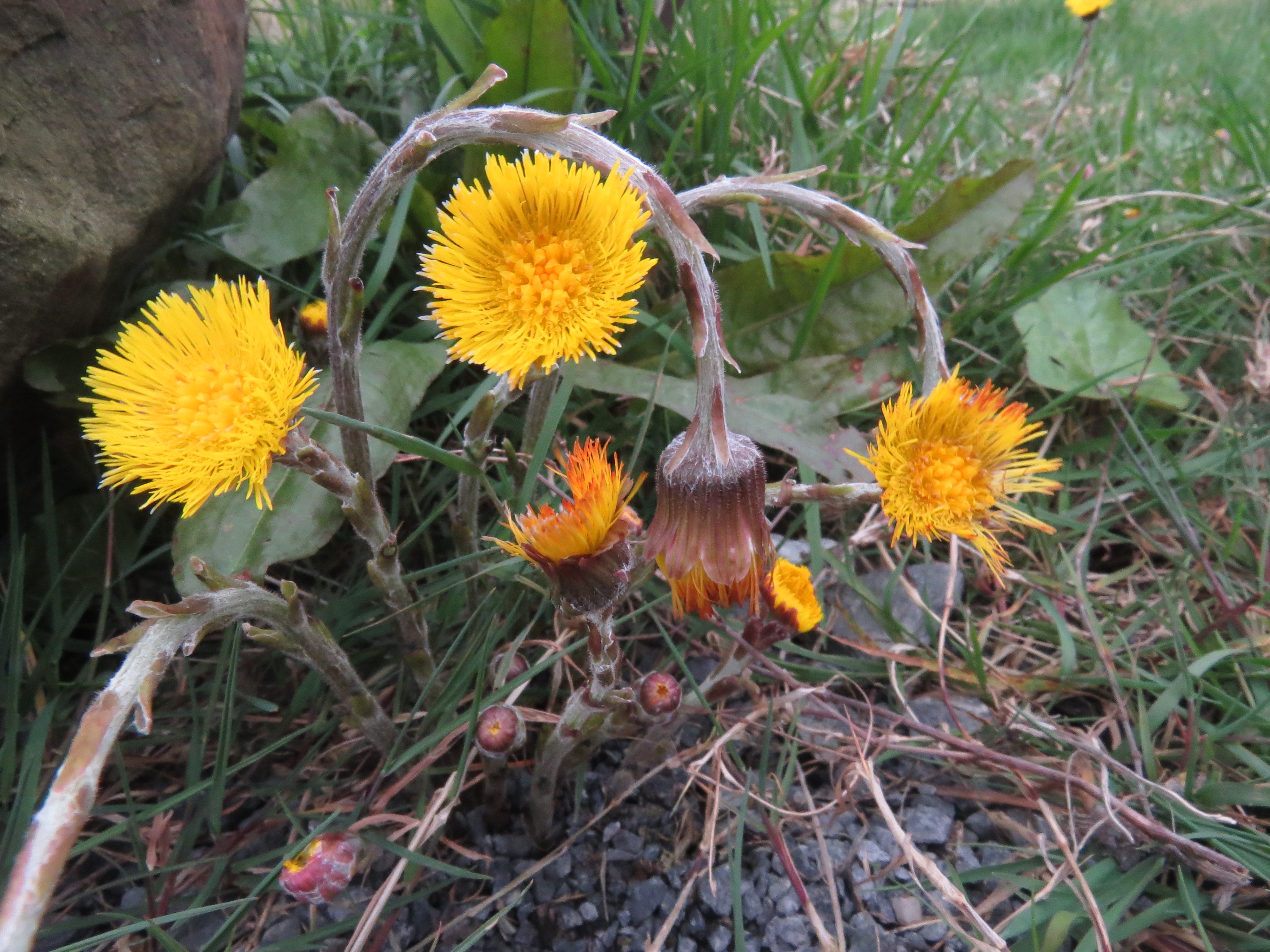 image of the flowers, as you want when foraging coltsfoot