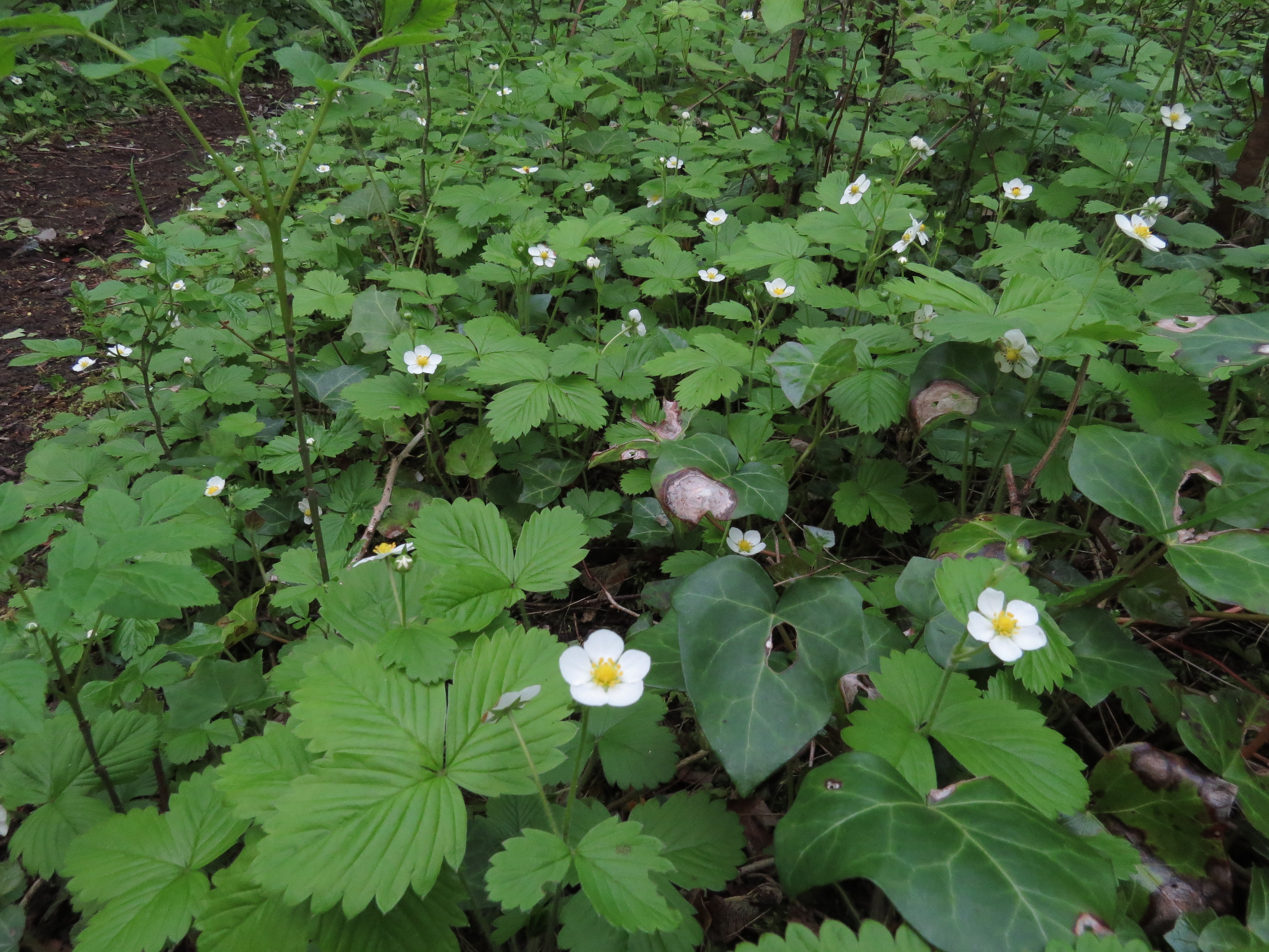 wild-strawberry (2)