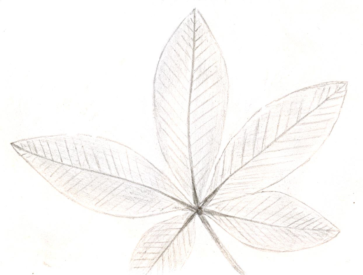 compound_leaf[1]