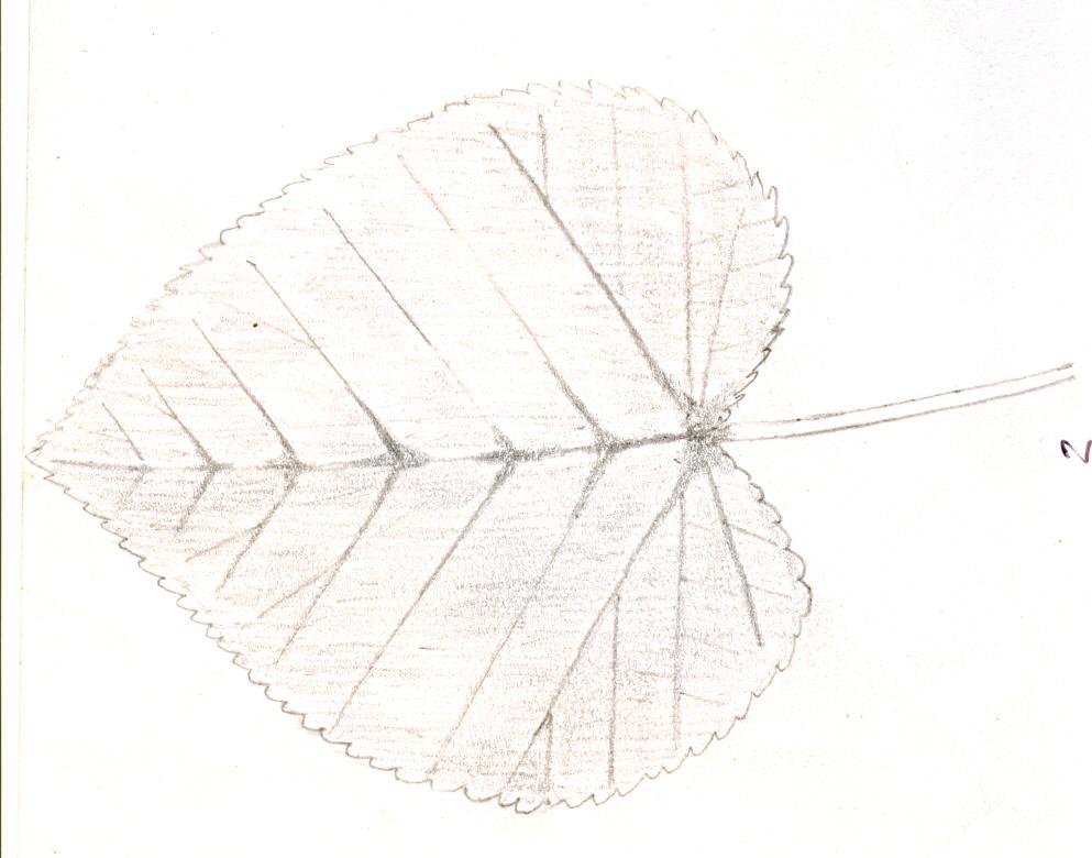 cordate leaf shape