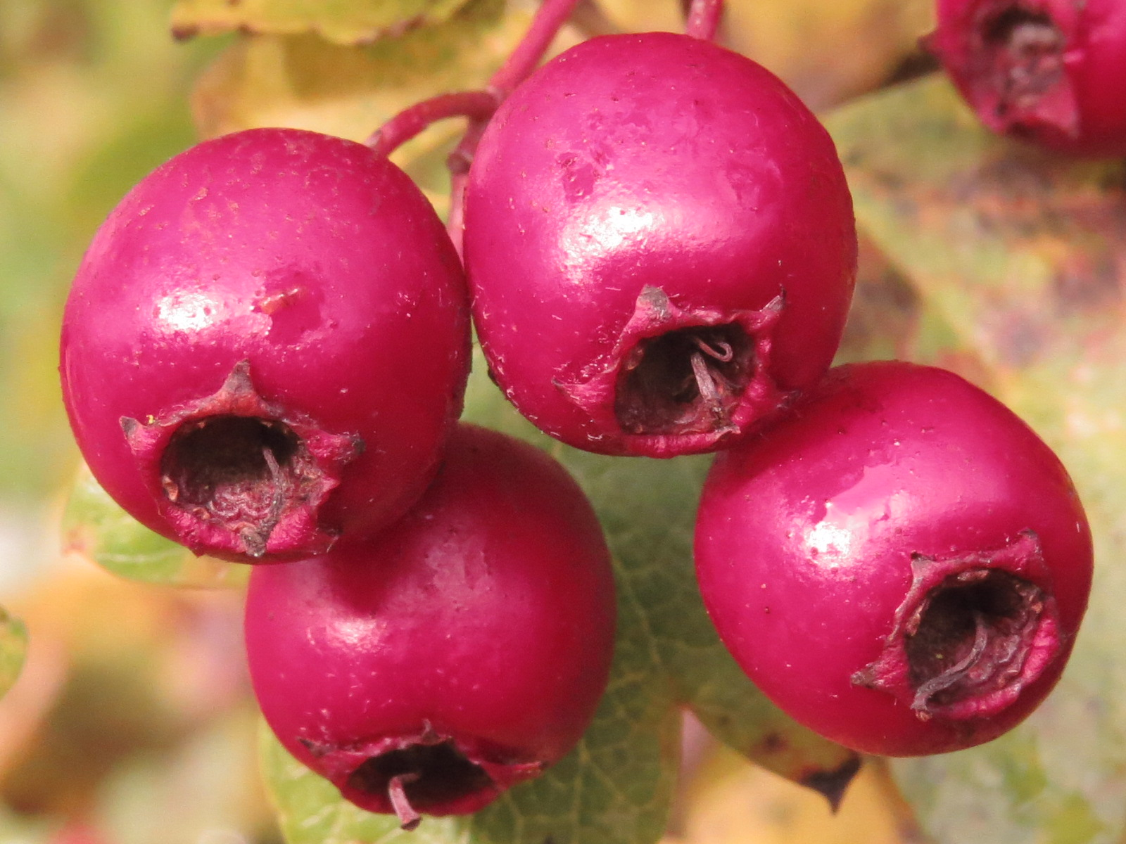 Crataegus shiny fruit