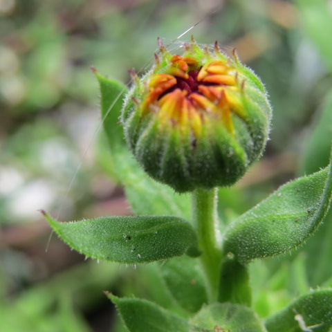 Immuno-stimulating polysaccharides are found in numerous medicinal plant such as Calendula