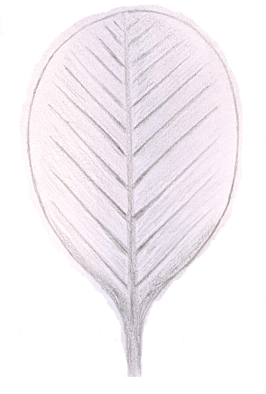 obovate_leaf[1]