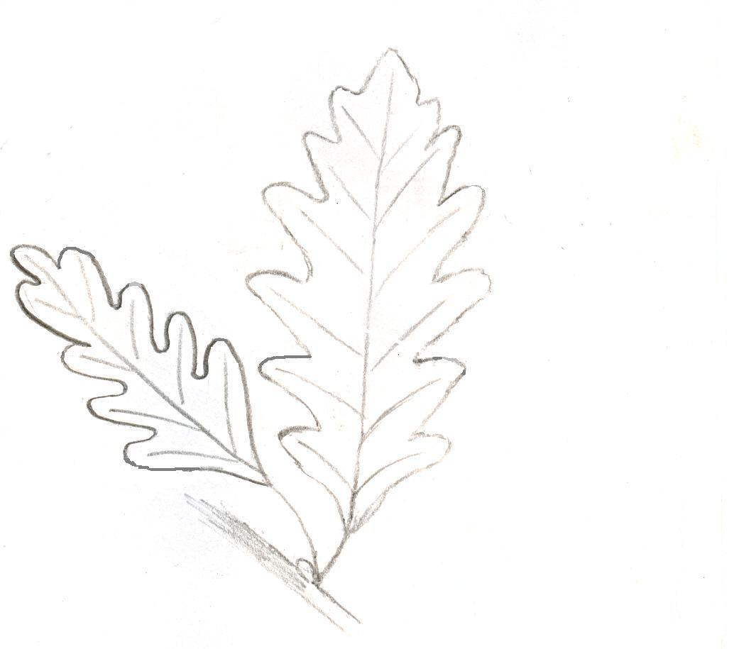 image of pinnately-lobed leaf shape