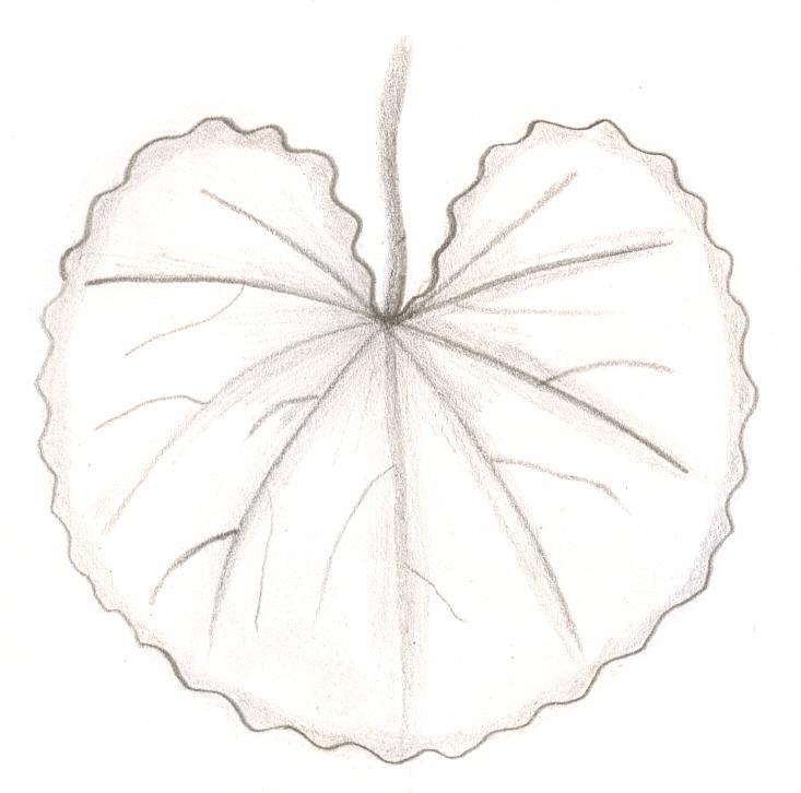 reniform_leaf[1]