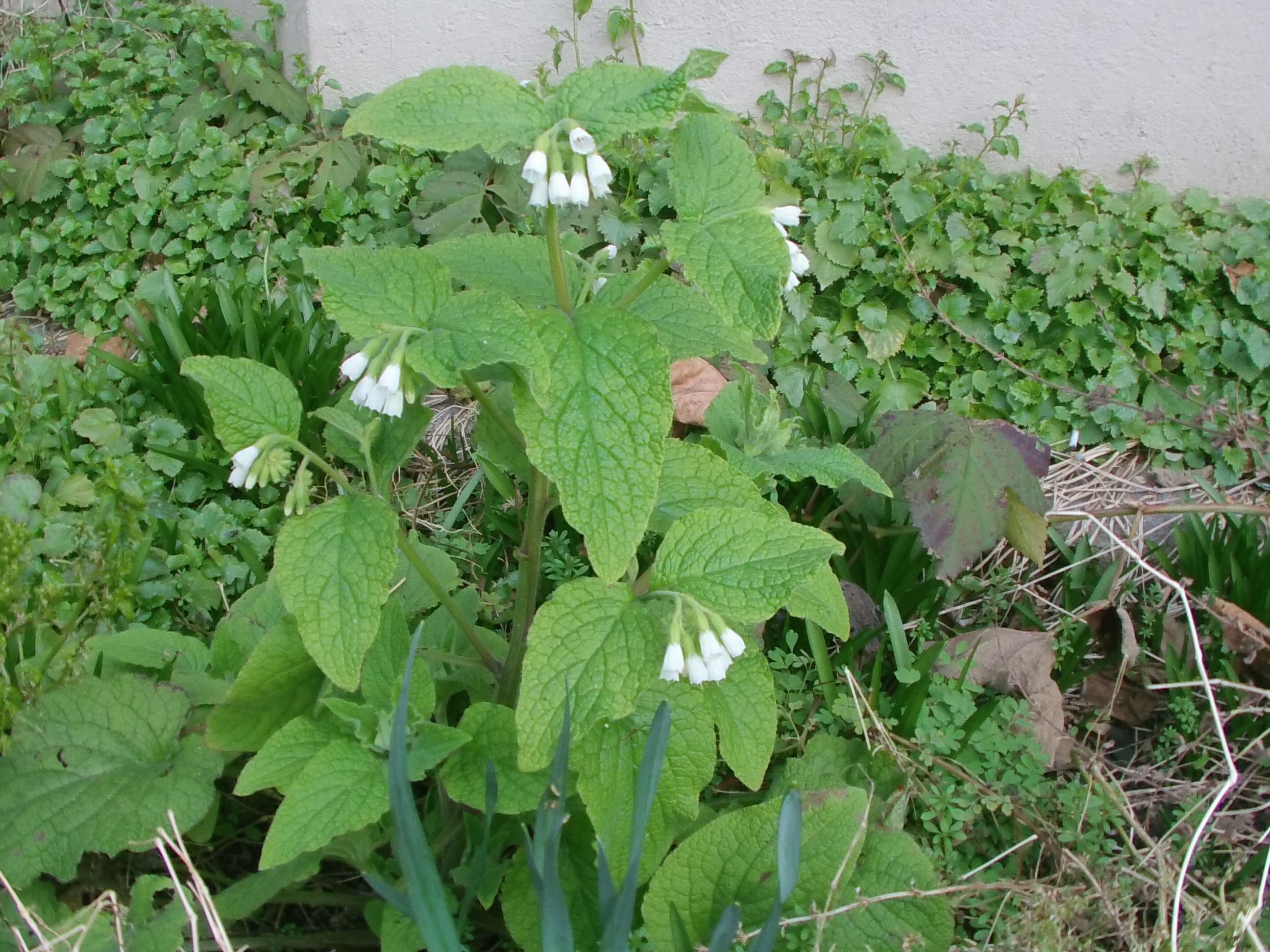 Comfrey species are rich in allantoin, an important medicinal plant constituent