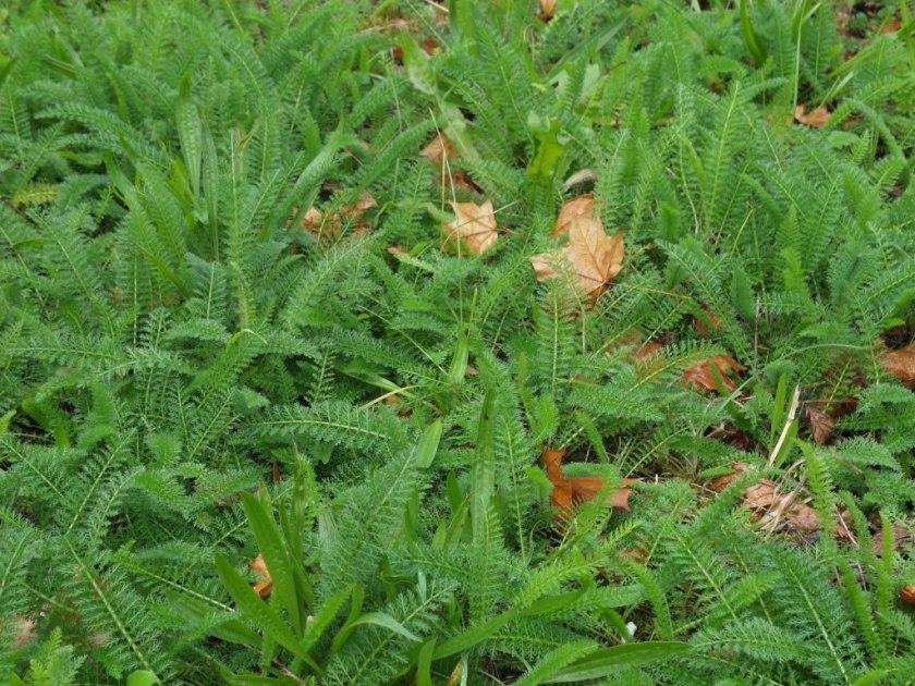 yarrow leaves
