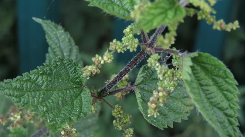 simple-nettle-leaves